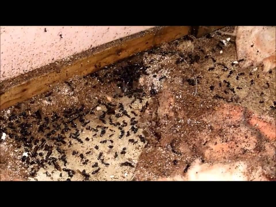 fourmi dans la maison excellent comment pouvezvous vous dbarrasser duune infestation des. Black Bedroom Furniture Sets. Home Design Ideas