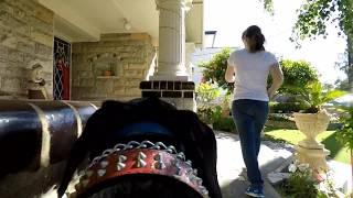 GoPro Karma Grip on GoPro Fetch Dog Harness attached to a Doberman