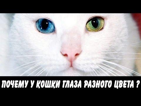 Породы котов с разным цветом глаз (гетерохромией)