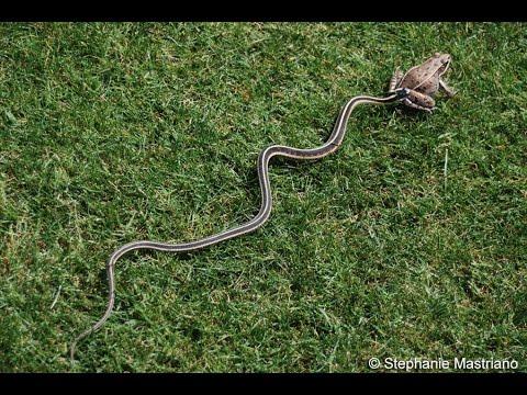 small garter snake eats frog youtube