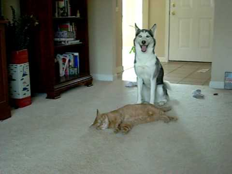 Siberian Husky playing with her Tabby cat