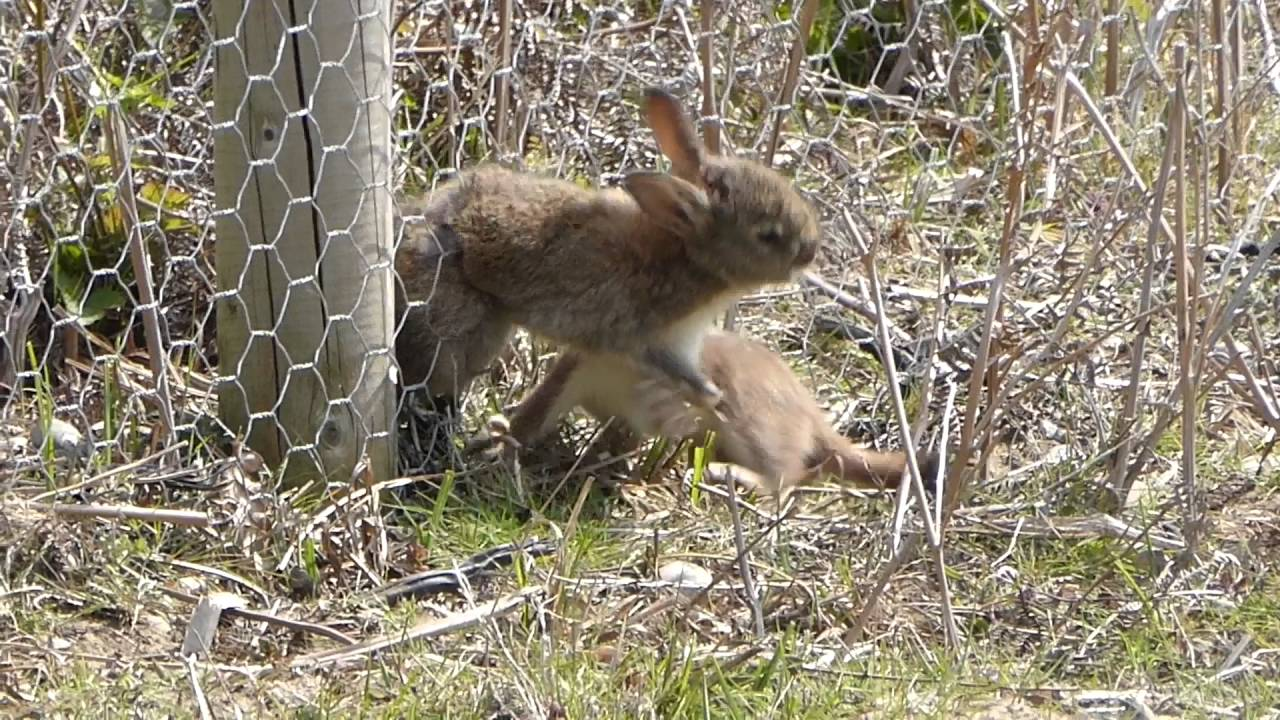 Persistent Stoat Trying To Pull A Rabbit Through A Wire