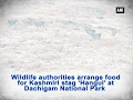 Wildlife authorities arrange food for Kashmiri stag 'Hangul' at Dachigam National Park - ANI #News