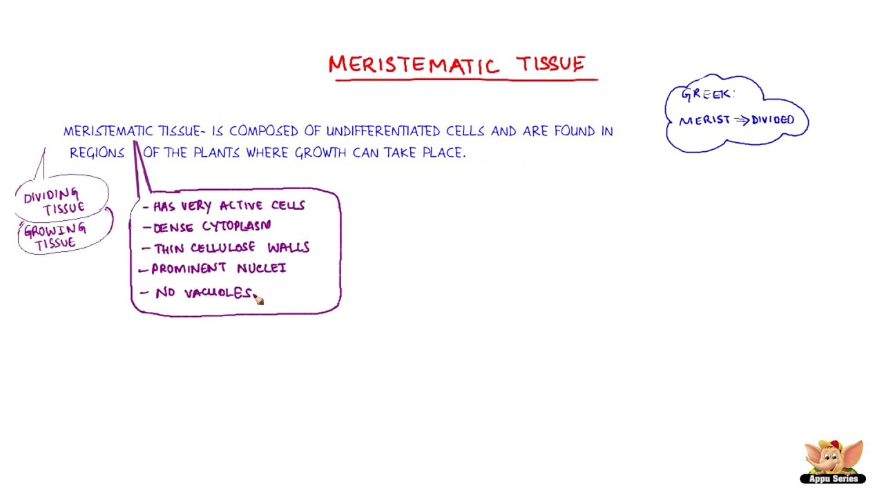 meristematic tissue Why do meristematic tissues lack vacuoles x  meristematic cells are mainly concerned with cell division their primary function is mitosis.