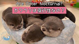 カワウソは夜行性なの? #Shorts #カワウソ #otter #loutre #カワウソ専門店