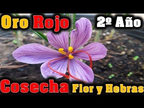 azafrán cosecha flor y hebras del oro rojo en maceta 2º año/el