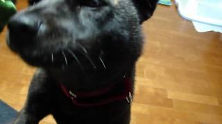 第130回天然記念物指定甲斐犬愛護会展覧会に於いて、総合優良犬牝の部優...