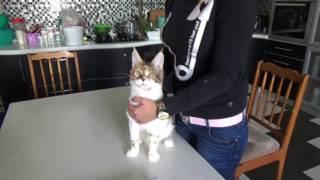 Взвешивание котенка мейн - кун Volga Pride RADA