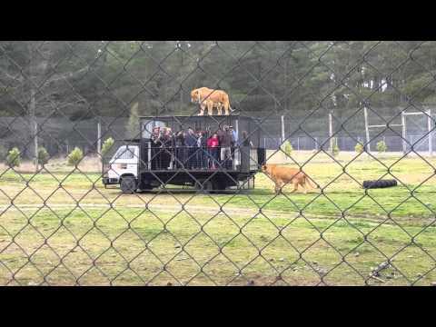 Lions being fed at Orana Wildlife Park, ChCh