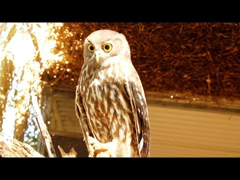Australia's Barking Owl