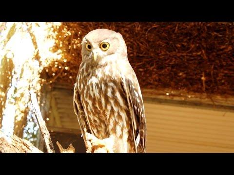 Australia's Barking Owl calling
