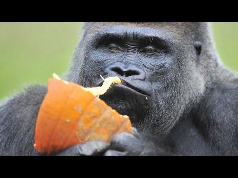 Koko, beloved gorilla that mastered sign language, dies