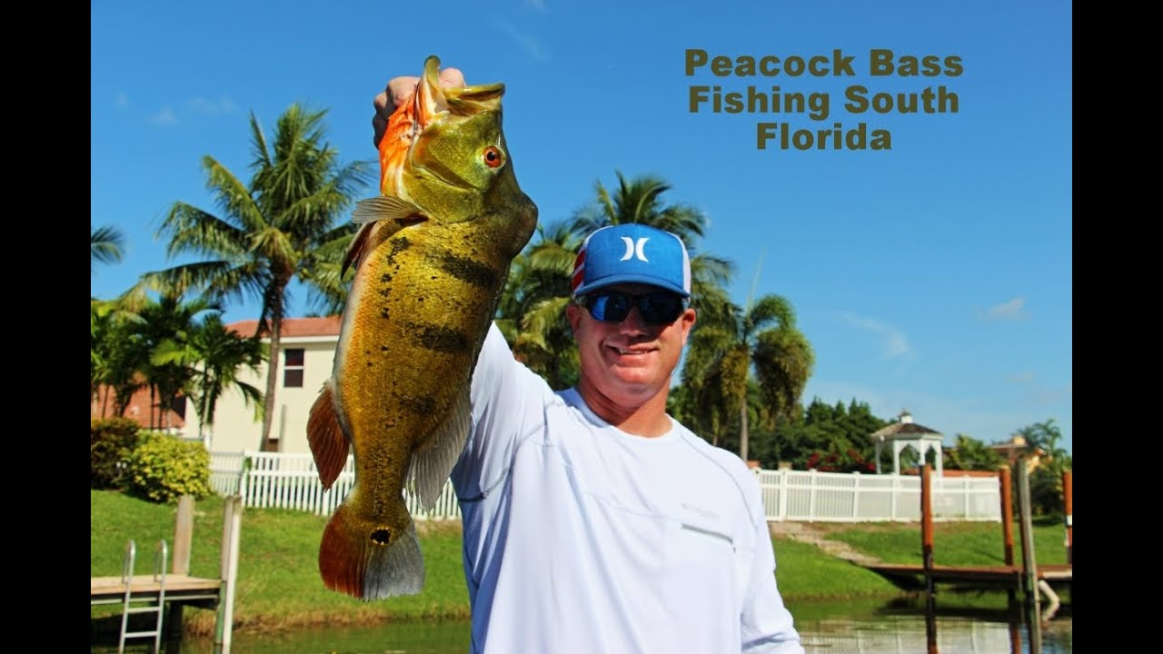 Butterfly peacock bass fishing florida live bait video for Bass fishing with live bait