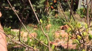 How to Prune Star Magnolia : Grow Guru