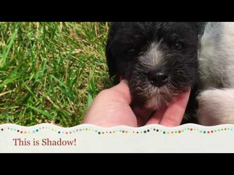 Cocker Schnoodle Puppies For Sale In NC