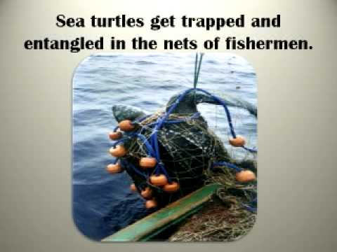 Why Are Sea Turtles Endangered?