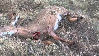 Video FIRST DEER WITH BARNETT  WILDCAT5 GREAT CROSSBOW FOR PRICE !! download MP3, 3GP, MP4, WEBM, AVI, FLV Mei 2018