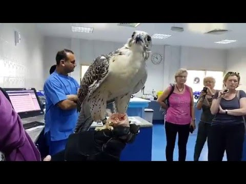 Falcon feeding at Falcon Hospital in Abu Dhabi