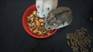 Чем кормить хомячка кемпбелла? / Чем питаются хомячки?
