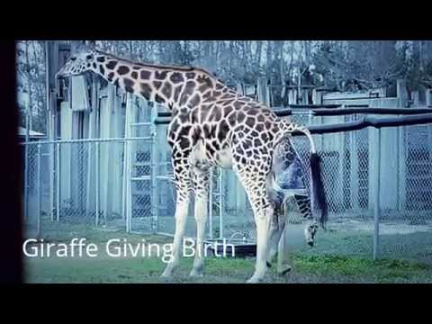 Thumbnail: Giraffe : Birth Of A Giraffe Baby At A Zoo