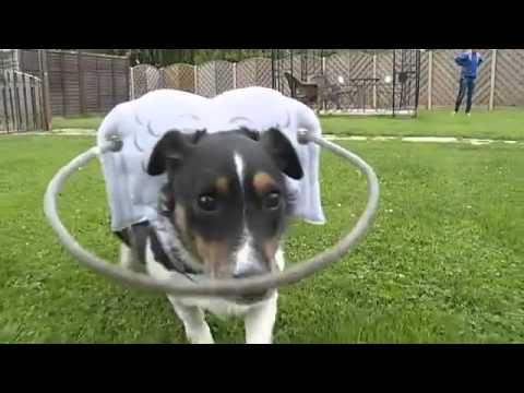 Basil the blind dog bounces back with help from his 'Halo'