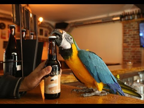 SUPER STONG Parrot Jack opens beer bottles with his beak