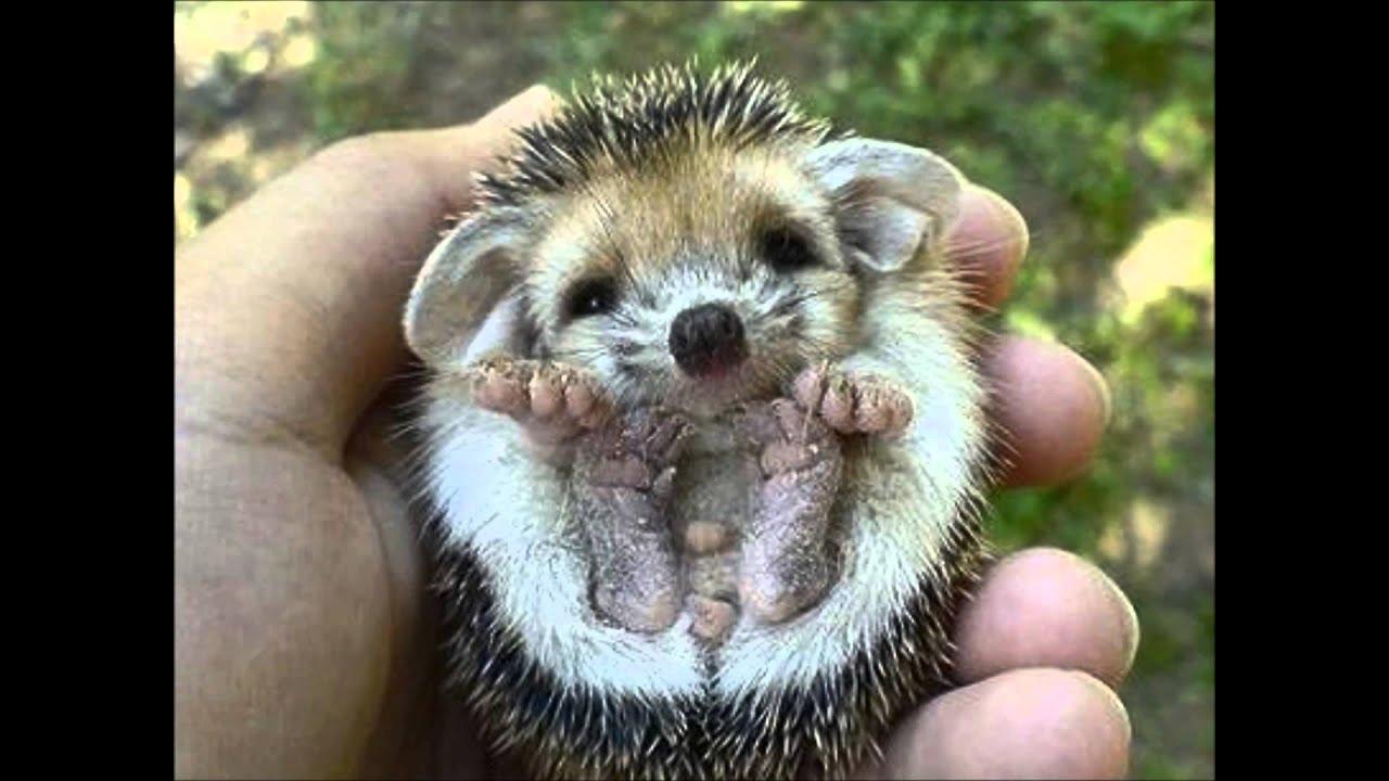Cute Baby Hedgehog Wallpaper Filhote De Porco Espinho Youtube