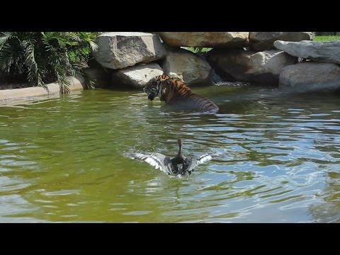 Worlds bravest duck plays with Sumatran tiger for fun!