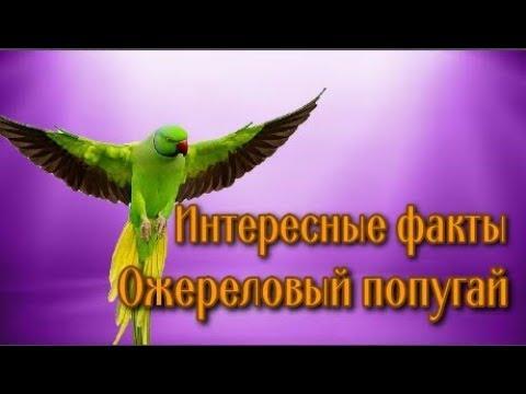 ✔️Интересные факты о попугаях. Psittacula krameri Ожереловый попугай