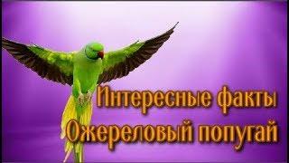 Интересные факты о попугаях. Psittacula krameri Ожереловый попугай