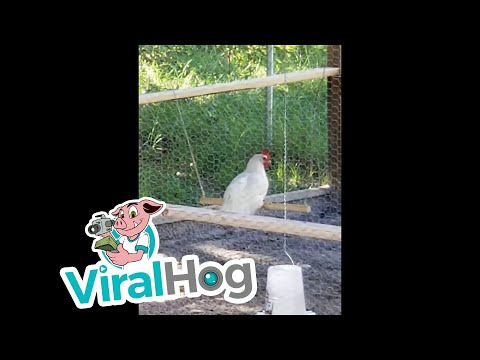 Liz - Ever wonder what a chicken does when you're not looking? Watch