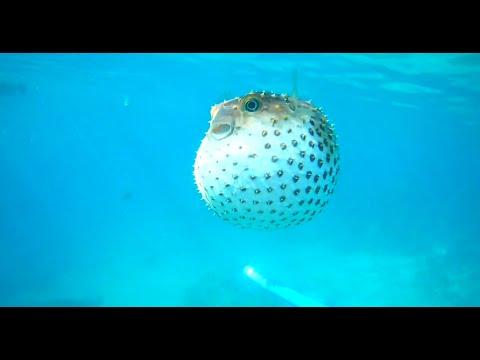 ПЛАВАЮЩИЙ ЯД!!! Ядовитая Фугу / рыба еж / рыба шар (Красное море/ RED SEA, EGYPT 2019)