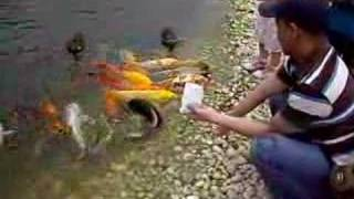 Koi Carp came out of the water just for getting food. thumbnail