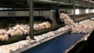 THIS IS HOW THEY GROW CHAMPIGNONS IN HOLLAND