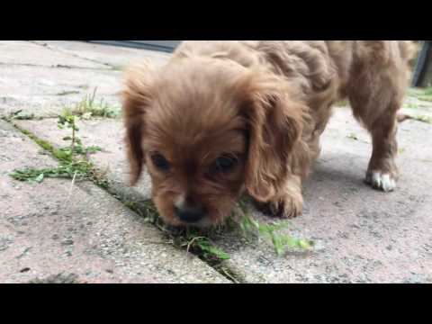 Bella the Cavalier King Charles Spaniel Puppy in 4K