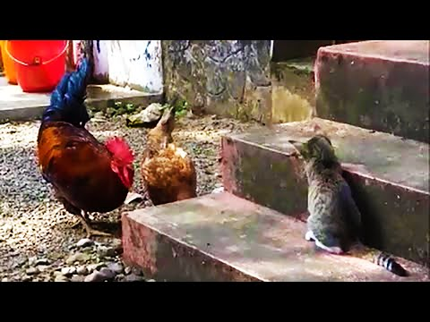 Chicken vs Cat - Funny cat trolling chickens compilation