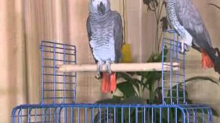 Домашний зоопарк: Попугай Жако 09.03