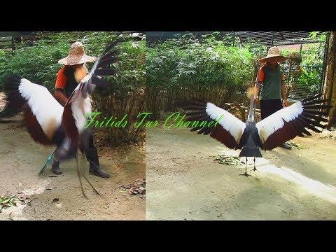 Crowned Crane Dance