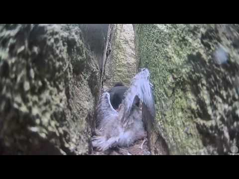 Guillemot mom kills tern chick that falls into her burrow. Guillemot cam. 08 July 2016
