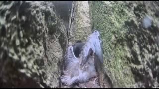 Guillemot mom kills tern chick that falls into her burrow. Guillemot cam. 08 July 2016