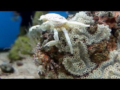 El cangrejo boxeador y de porcelana (Neopetrolisthes maculatus y Lybia tessellata) Ficha Técnica