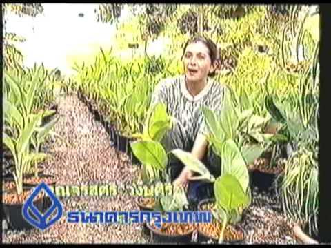 224 ต้นพุทธรักษา.mpg