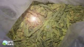 Radiation Monitor Green Tea Two Rivers Genmaicha Australian grown 4-21-2013 | Organic Slant