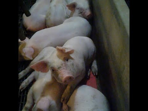This is what life is like for pigs born at factory farms