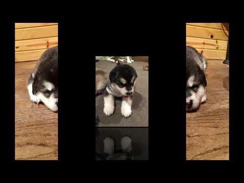 Alaskan Malamute New Born Puppies - Baby Contessa