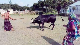 Humorous Big Cow Preparing For Qurbani