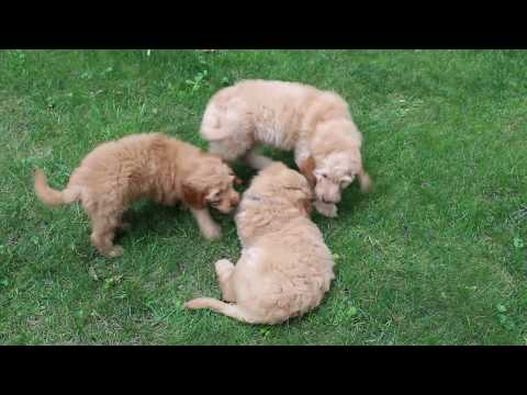 Moyen Goldendoodle puppies for Sale!!!