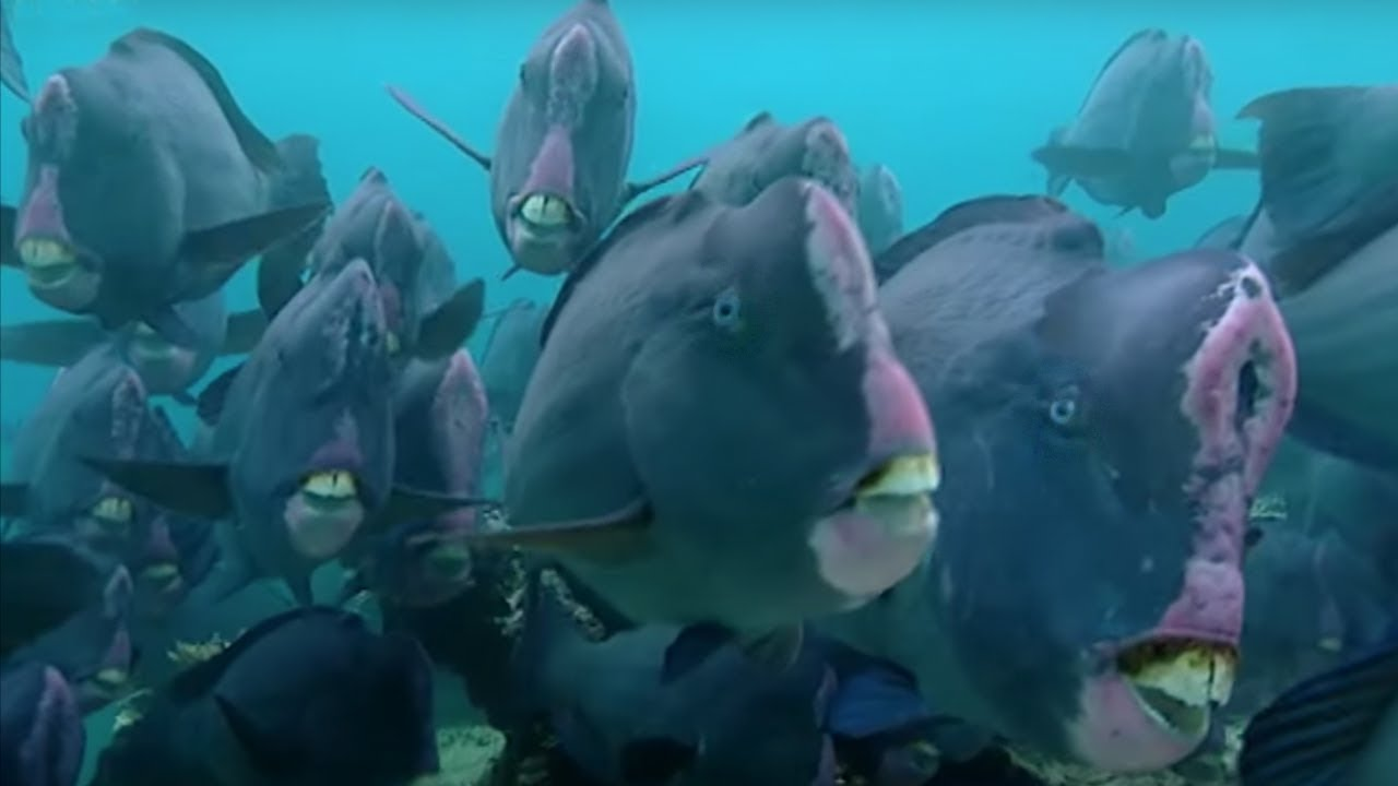 What Does a Humphead Parrotfish Eat? | Blue Planet | BBC Earth