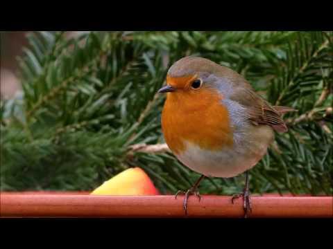 chant des oiseaux relaxant