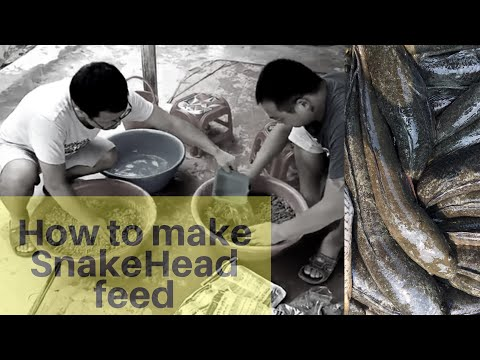 Snakehead Feed Making (Manualy).